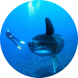 Mola and Diver in Lembongan