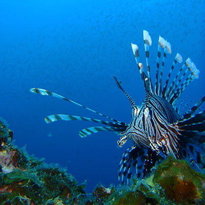 Lion Fish in Lembongan