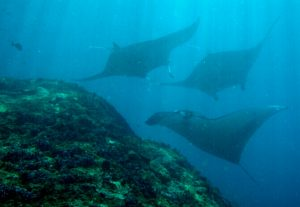 Manta Rays in Lembongan - Cleaning