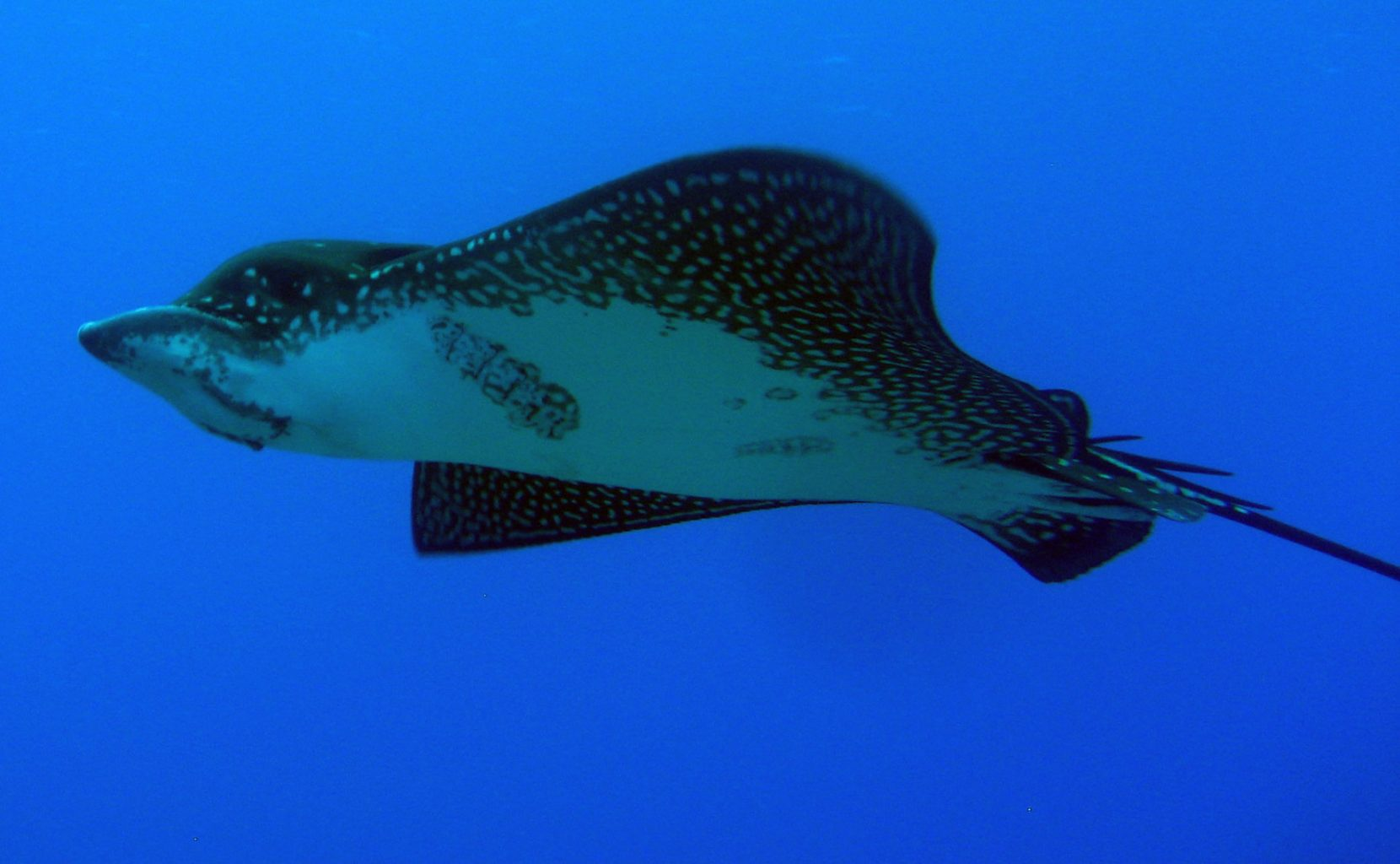Eagle Ray at Blue Corner on the North Coast of Lembongan