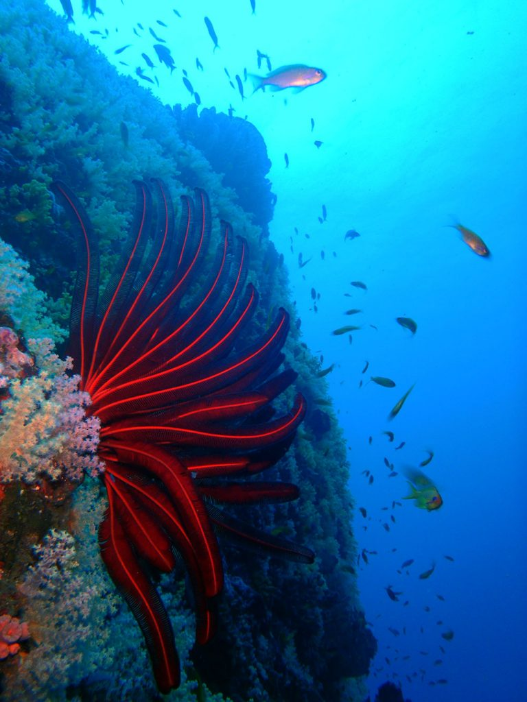 Feather Star on Reef