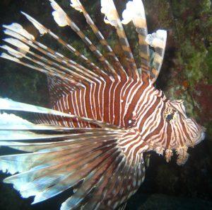 Lion Fish in Lembongan