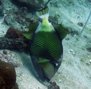Titan Triggerfish in Lembongan