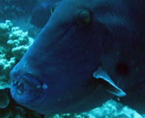 Triggerfish in Lembongan